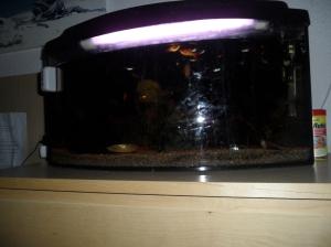 Det Älskade Akvariet (numera med minst 7 platybebisar, vi är mycket stolta nästan-föräldrar)