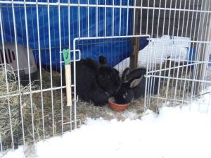 Kaninisar i snön.